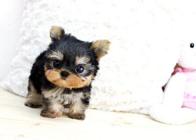 yorkie babies for free classifieds for sale animals york