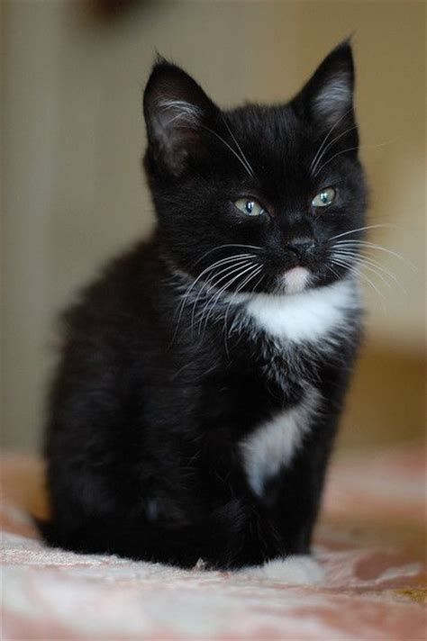 black and white cat 25 best ideas about tuxedo kitten on adorable