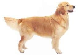golden retriever pelo tumascota es 948 151 069 tienda para mascotas