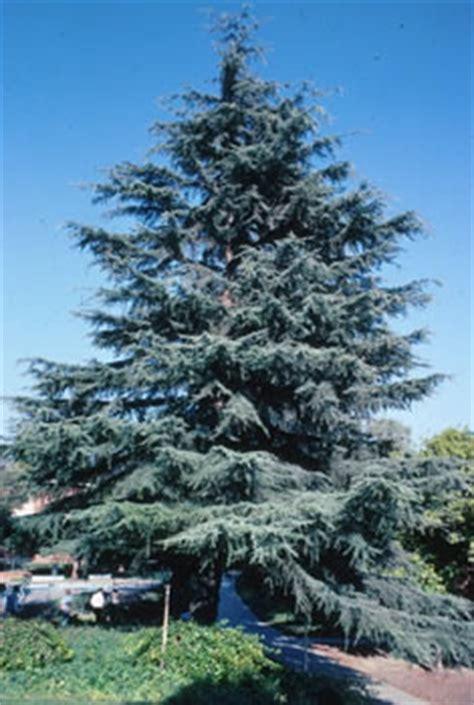 the botanical name of a grrmam christmas tree cedrus deodara