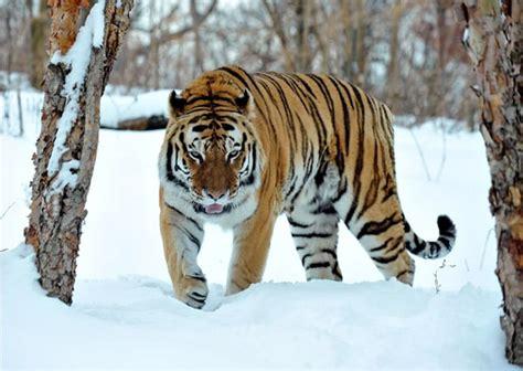 tigers snuggle    snow  bronx zoo popsugar pets