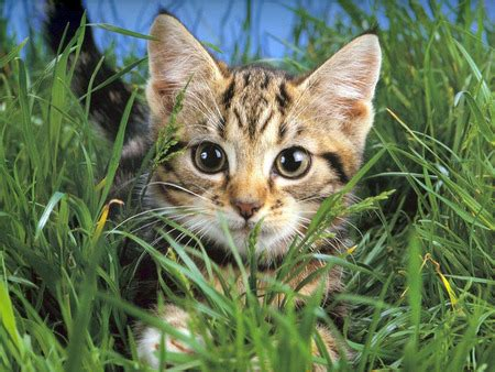 cat resistant wallpaper scary lil hunter cats animals background wallpapers