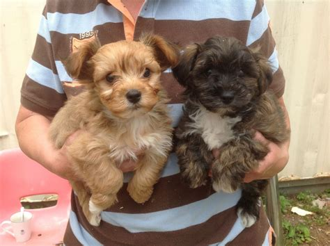 yochon puppies yochon puppies for sale knottingley west pets4homes