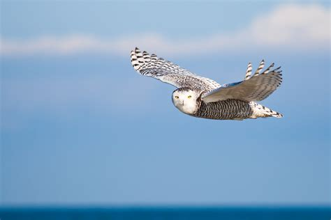 Snowy Owls: Conserving a Ghost