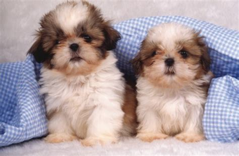 caring for shih tzu puppies how to care for your shih tzu puppy that puppy in the window part 4