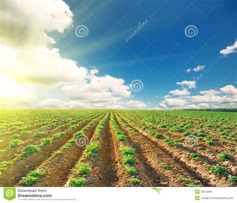 potato field blue sky landscape stock image image