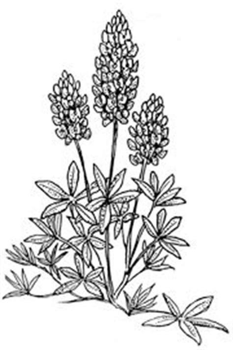 coloring page indian paintbrush 1000 images about texas flowers on pinterest indian