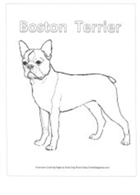 baby boston terrier coloring pages coloring pages