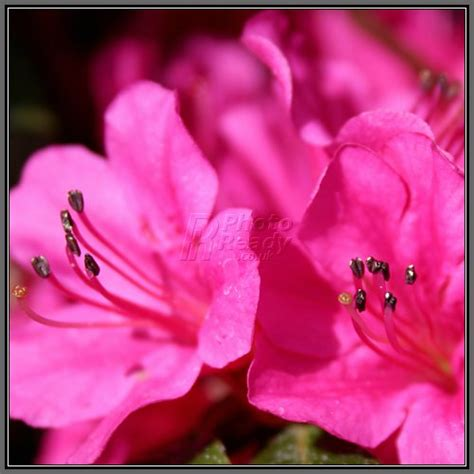 fertilizing azaleas and rhododendrons plumstone