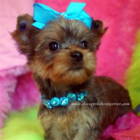 teacup yorkie for sale in missouri akc teacup golden yorkie for sale
