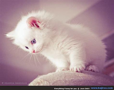wallpaper bergerak kucing 150 gambar kucing lucu dan imut anggora persia maine
