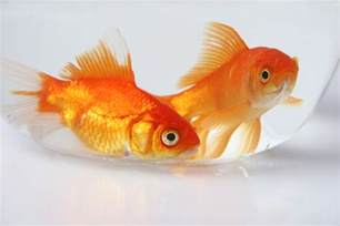 Hanukkah Home Decor what do goldfish eat besides goldfish flakes pets