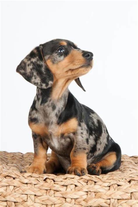 dapple dachshund puppies best 25 dapple dachshund ideas on dachshund puppies dachshund and