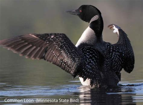 related keywords suggestions for minnesota loon