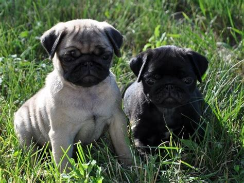 black and pug fawn black pug puppies dogs puppies puppys black pug and pug