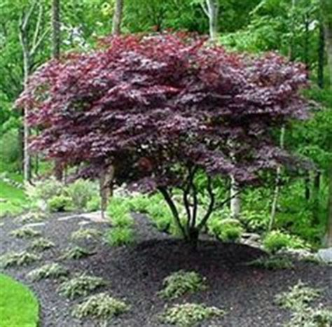 japanese redbud tree photos 1000 images about redbud trees on redbud trees rising sun and pansies