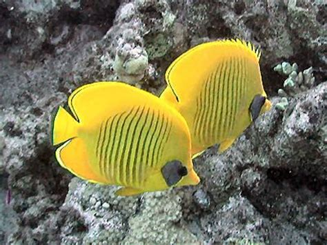 bluecheek butterflyfish wikipedia