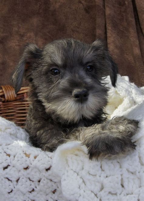 miniature schnauzer puppies for sale in ohio 25 best ideas about schnauzer puppies on miniature schnauzer black