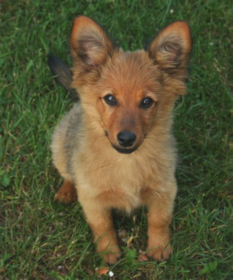 when to breed a pin small crossbreed dogs on