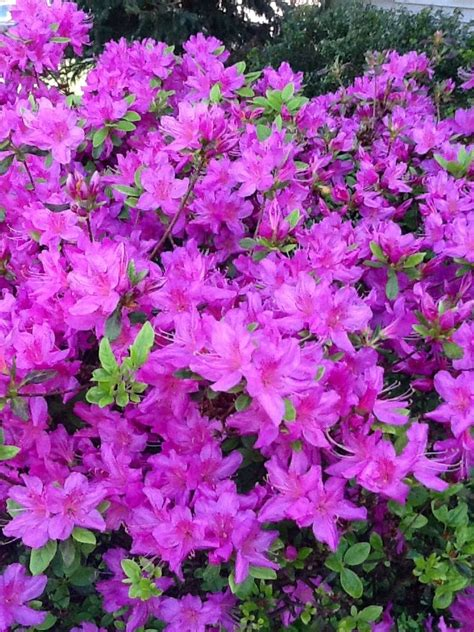 azalea colors azalea bush artwork color texture