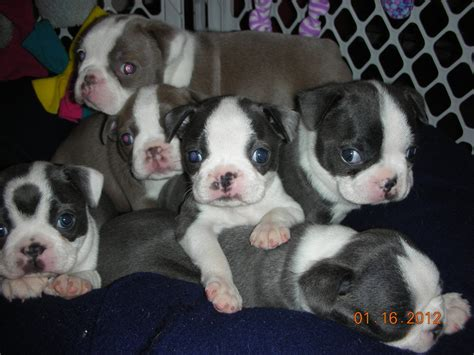 blue boston terrier puppies past puppies goldenrod streams