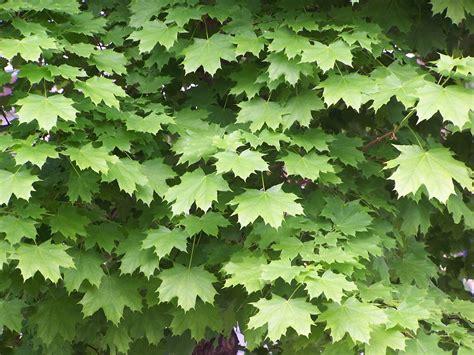 maple tree tar spots tar spot twentiethman