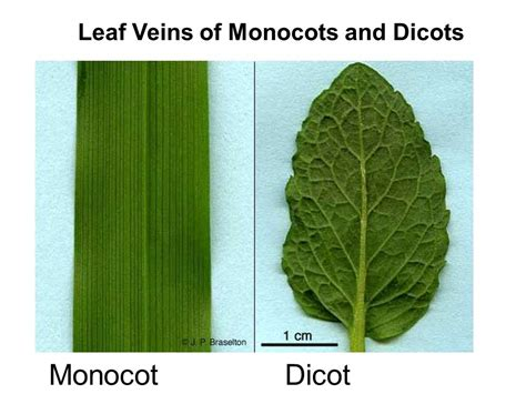 leaf pattern of dicots monocot vs dicot flowering plants ppt video online download