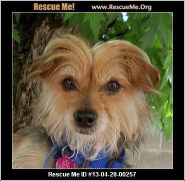 yorkie rescue california california yorkie rescue adoptions rescuemeorg rescue me id