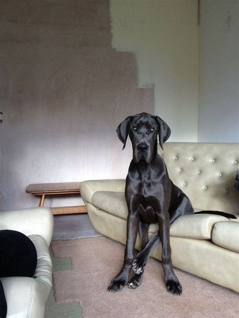 great dane couch pin by georgia susanna scardamaglia on dogs pinterest