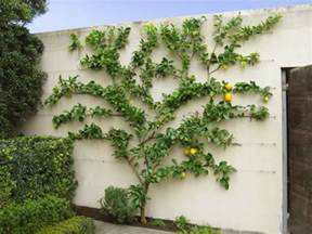 fruit tree growing how to grow espalier fruit trees home info