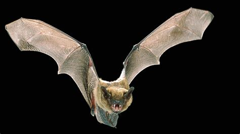 Emely Batwings sense of touch turns bats into acrobats science aaas