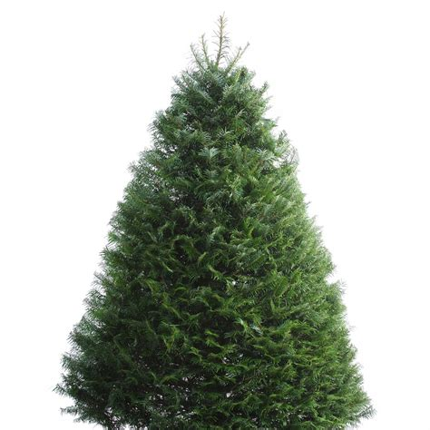 shop 6 7 ft fresh grand fir christmas tree at lowes com