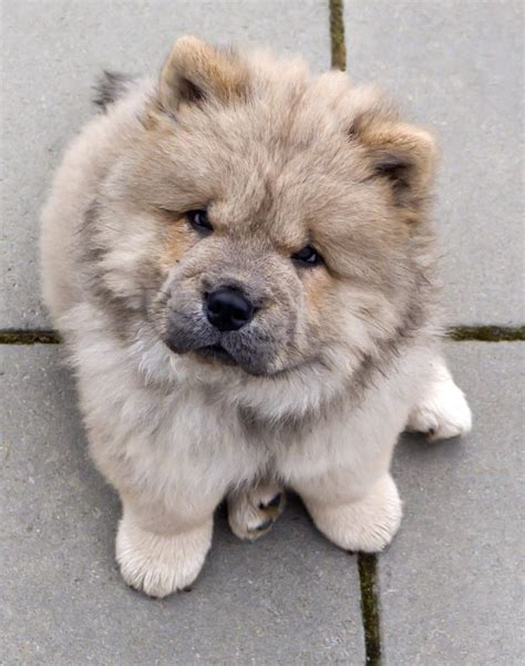 fluffiest breeds top 5 fluffiest breeds breed 02 it s so fluffy i m gonna die