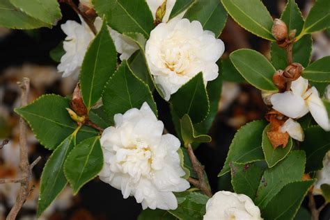 flowering shrubs zone 6 snow flurry zone 6 hardy camellia what grows there