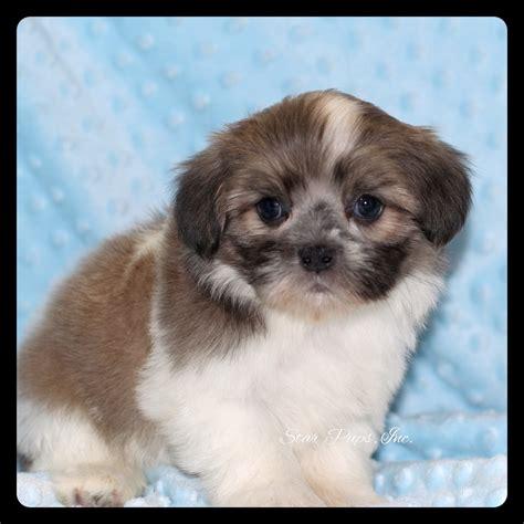 shih tzu products shih tzu m white sold pups