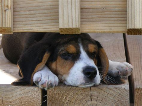 beagle puppies for sale in nc beagle puppies for sale near carolina akc marketplace