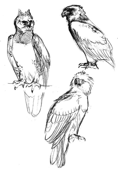 coloring page harpy eagle harpy eagle sketching coloring pages pagesfull size image