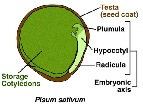 Section 24 2 Seed Development And Germination by The Seed Biology Place Plant Hormones