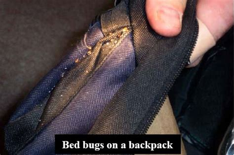 what causes bed bugs to come what causes bed bugs