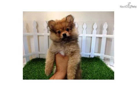 teacup pomeranian puppies for sale in chennai pomeranian pictures names price breeds picture