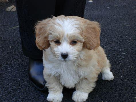 shapoo puppies wiki file shih poo jpg wikipedia