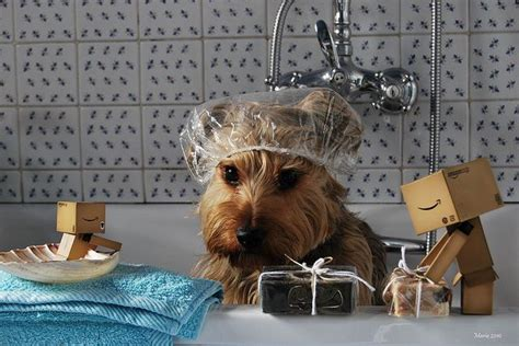 can yorkies swim 190 best images about yorkie hairdo on creative grooming yorkie and