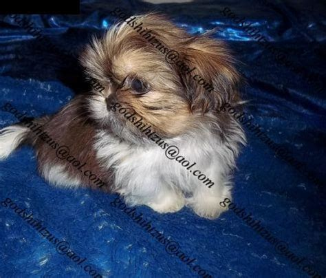shih tzu puppies iowa imperial shih tzu puppies iowa