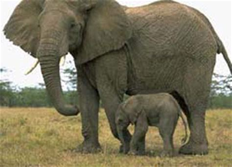 What do elephants eat curious facts about elephants 187
