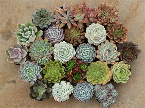 succulent plant how to grow and care for echeveria world of succulents