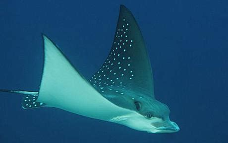 Reel Golden Fish Stingray St5000 new species of sting discovered telegraph