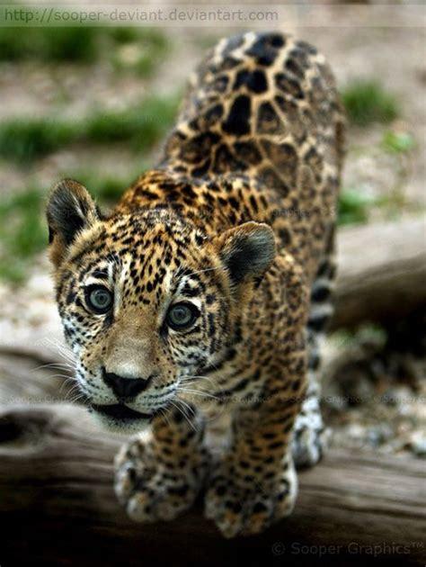 jaguar kitten jaguar jungtiere w 246 lfe b 228 ren l 246 wen etc and tiere on