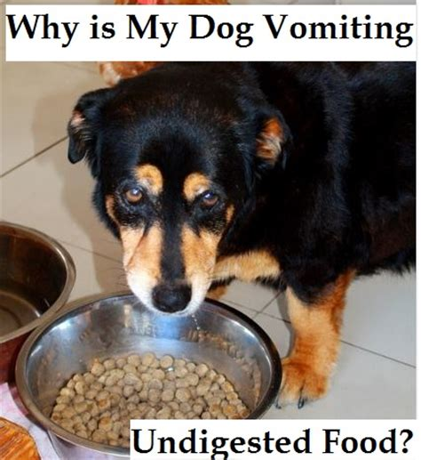 vomiting food causes for dogs vomiting undigested food s upset stomach