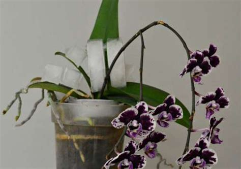watering orchids with ice cubes garden myths inside how often to water an orchid www accionph