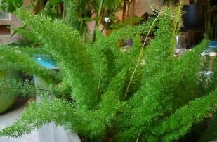 Tree care additionally norfolk island pine house plant as a christmas